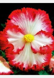Begonija A'WHITE dvispalvė