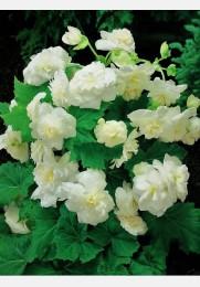Begonija BALTA Multiflora
