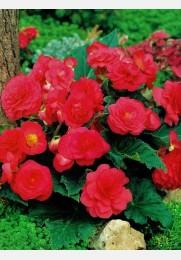 Begonija ROŽINĖ Multiflora