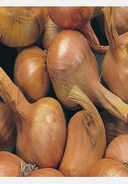 Svogūnai ŠALOTO sėjinukai