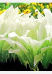 Melsvė WHITE FEATHER