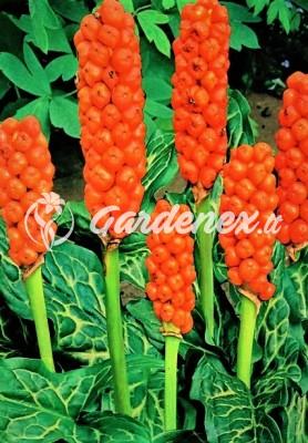 Arum Italicum ARONAI