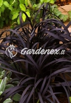 Ophiopogon NIGER, gyvatbarzdė