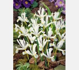 Vilkdalgis WHITE Reticulata