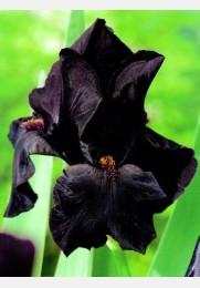 Vilkdalgis BLACK NIGHT Germanica