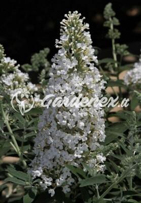 Budlėja DREAMING WHITE