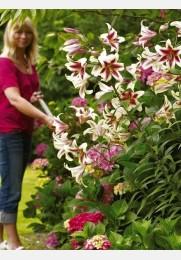 Lelija krūminė ALTARI sodinukas