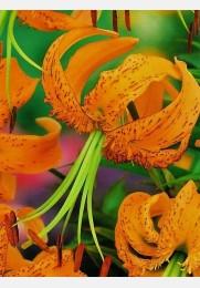 Lelija TIGRINUM