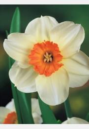 Narcizas BARRET BROWING