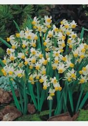 Narcizas CANALICULATUS