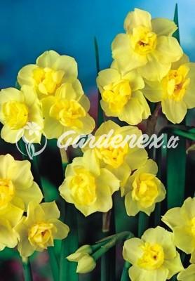 Narcizas YELLOW CHEERFULNESS