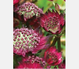 Astrantija MOULIN ROUGE