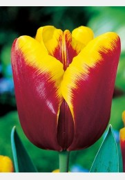 Tulpė ABU HASSAN
