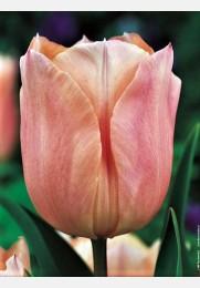 Tulpė APRICOT BEAUTY