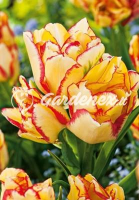 Tulpė AQUILLA