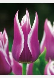 Tulpė BALLADE