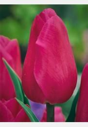 Tulpė BARCELONA