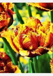 Tulpė BASTIA