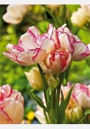 Tulpė BELICIA