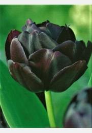 Tulpė BLACK HERO