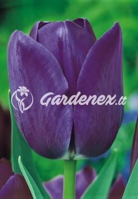 Tulpė BLUE AIMABLE