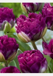 Tulpė BLUE WOW exclusive