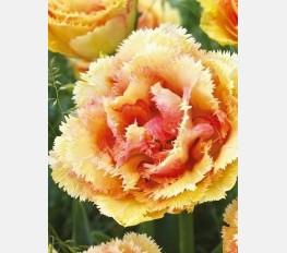 Tulpė BRISBANE
