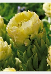Tulpė BROOKLYN