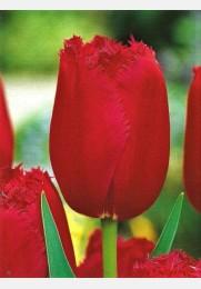 Tulpė BURGUNDY LACE