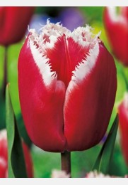 Tulpė CANASTA