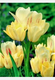 Tulpė CANDY CLUB