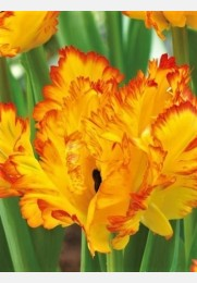 Tulpė CARIBBEAN PARROT exclusive