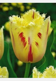 Tulpė CARROUSEL