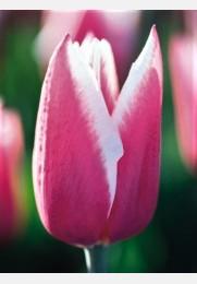 Tulpė CHACHA