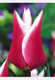 Tulpė CLAUDIA