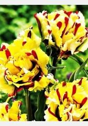 Tulpė DOUBLE FLAMING PARROT exclusive