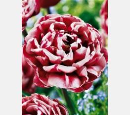 Tulpė DRUMLINE