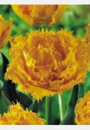 Tulpė EXOTIC SUN