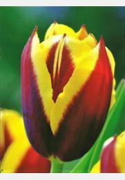 Tulpė GAVOTA