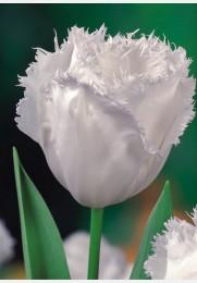 Tulpė HONEY MOON