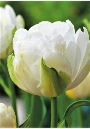 Tulpė MAUREEN DOUBLE