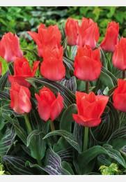 Tulpė ORATORIO