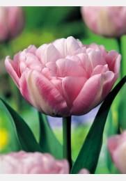 Tulpė PEACH BLOSSOM