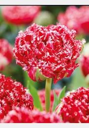 Tulpė QATAR