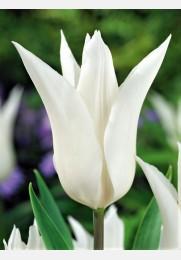 Tulpė TRES CHIC