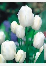 Tulpė WEISSE BERLINER