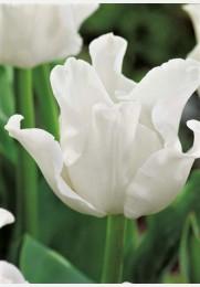 Tulpė WHITE LIBERSTAR