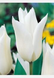 Tulpė WHITE WINGS