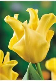 Tulpė YELLOW CROWN